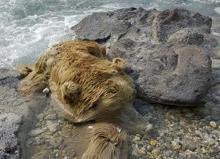 Padły niedźwiedź - ofiara Doliny Śmierci
