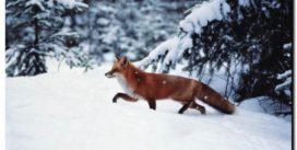 UWAGA! W Tucholi pojawiły się zwierzęta leśne!