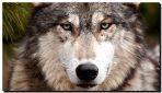 Wilki nie są zagrożeniem, chodzi o coś więcej…