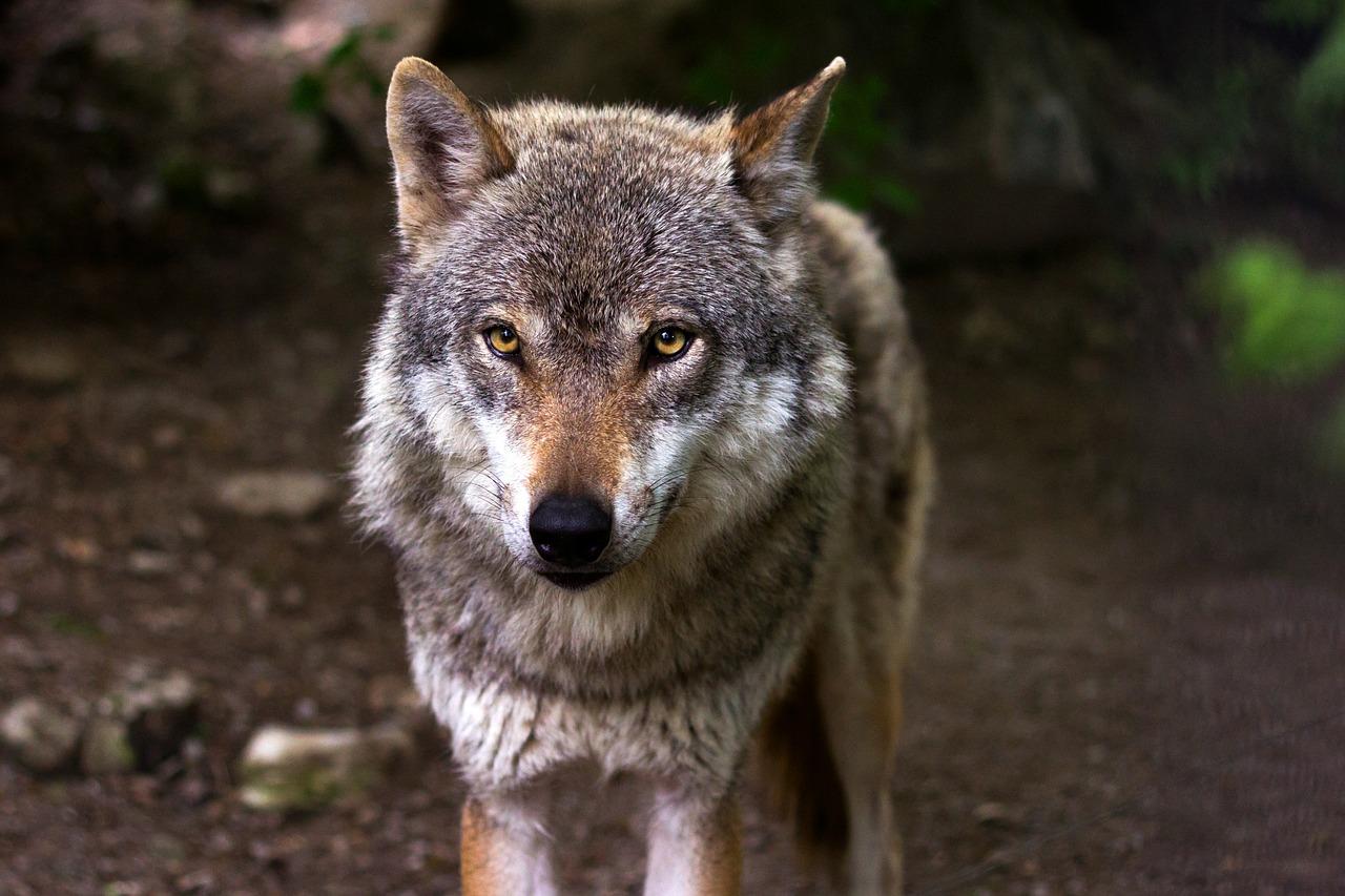 Ważny głos w sprawie wilków padnie  w Toruniu, z ust przedstawiciela tucholskiej uczelni
